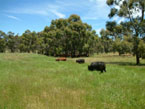 Picture of Cattle Grazing