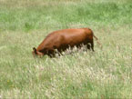 Picture of Cow in High Grass